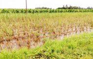 शिरोळ तालुक्यात ढगफुटीचा तांडव; शेतामध्ये पाणीच पाणी