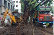 चुकीच्या पध्दतीने खोदाई केल्यामुळे झाड पडले