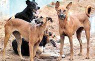 मोकाट कुत्र्यांवरील शस्त्रक्रियेसाठी तीन महिन्यांसाठी 25 लाखांस 'स्थायी'ची मंजुरी