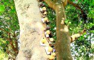 करणीसाठी झाडांवर लावलेले असंख्य लिंबू-मिरच्या काढल्या