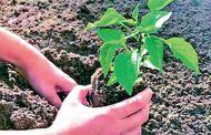 देहू ते निगडी पालखी मार्गावर पालिका करणार वृक्षारोपण