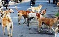 मोकाट कुत्र्यांचा त्रासाने नागरिक हैराण; जनावरांवरील कारवाईबाबत पालिका प्रशासन उदासीन
